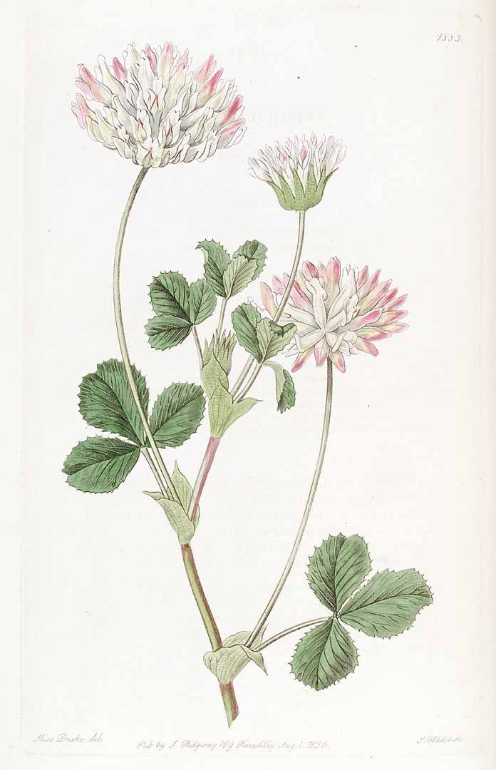 clover 35624 Trifolium fucatum Lindl. / Edwards's Botanical Register, vol. 22: t. 1883 (1836) [S.A. Drake]
