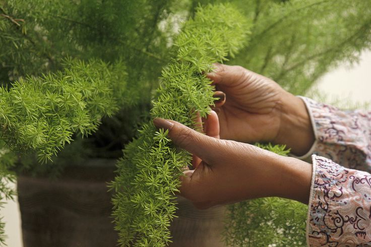 A foxtail fern is not a true fern. Rather, it is an evergreen flowering plant that comes from the lily family. https://www.youtube.com/watch?v=jBf8v4Klus0