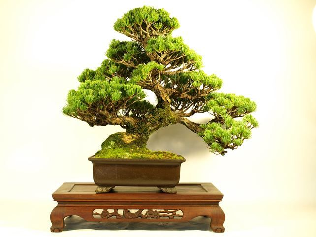 """""""Moyo-gi"""" is words to express the form of the Bonsai. """"Moyo-gi"""" is the form that is the most popular in a Bonsai. $520."""