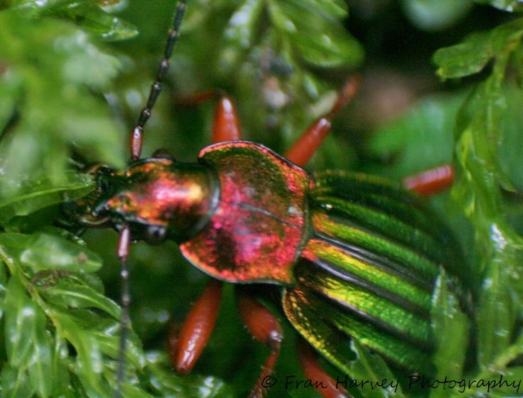 Can you name this beautiful beetle?
