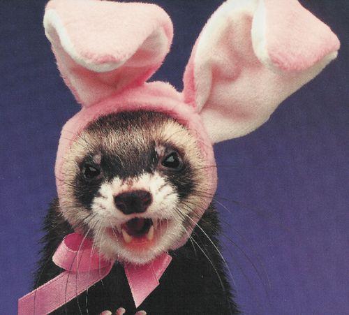 cheeeeseee: Cute Ferrets, Bunnies Ears, Pet, Easter Bunnies, Ball Dresses, Animal Wear, Funny Animal, Happy Easter, Easter Ferrets