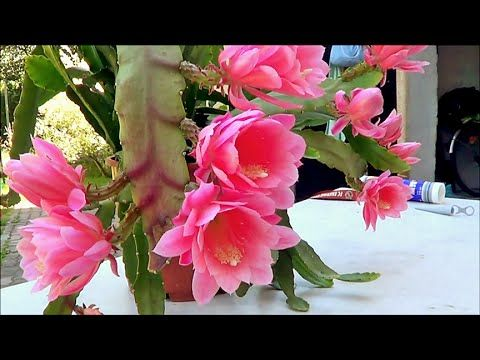 Blattkaktus  (Epiphyllum)  in Blüte - YouTube
