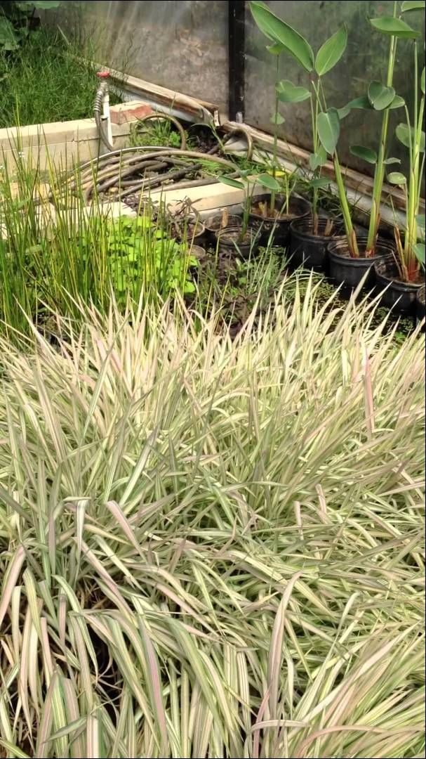 17 best images about pond plants on pinterest underwater for Pond reeds for sale