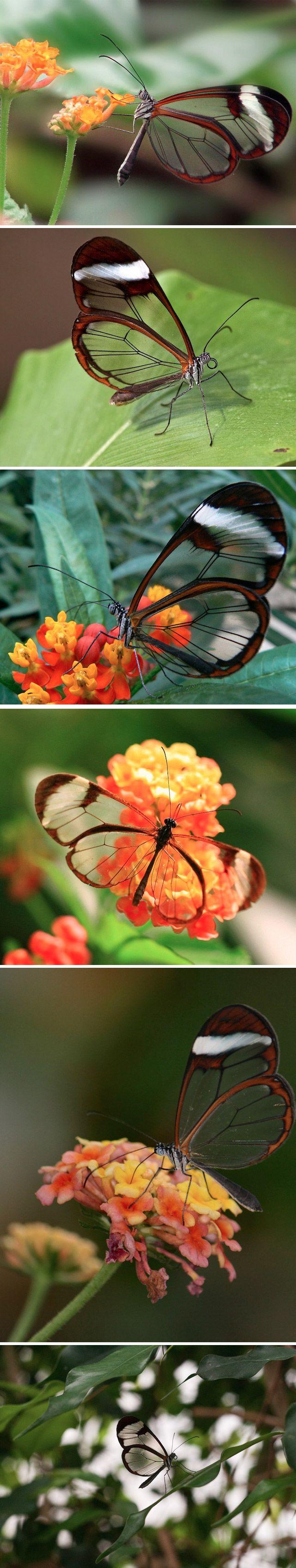 Design da Natureza: Conheça a incrível borboleta de asas transparentes    Greta Oto, uma borboleta da família Nymphalidae, também conhecida como borboleta de cristal. O tecido entre as nervuras das asas dela se parece mais com vidro, porqueque não têm as escamas coloridas encontradas em outras borboletas. Esse ser incrível, somente pode ser encontrado em algumas regiões da América Central, entre o México e Panamá.