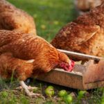 One of the advantages of owning a small acreage is that you can grow your own fruits and vegetables while at the same time getting fresh farm eggs from your chickens. Having chickens is a great opportunity for a family to eat healthy and for parents to...