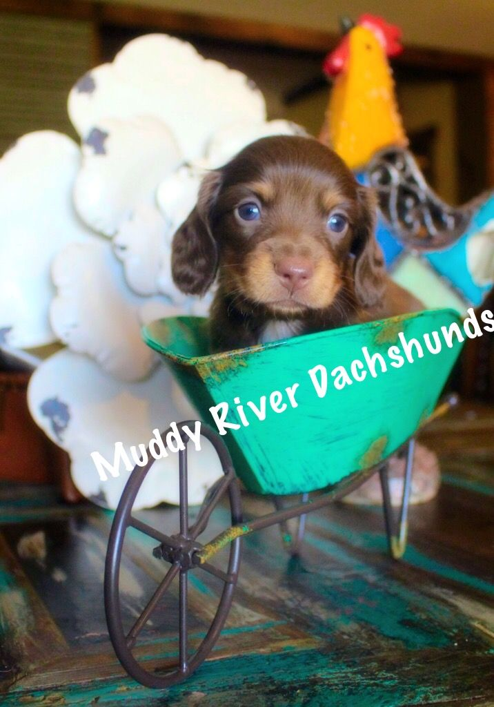 Akc Miniature And Tweenie Dachshund Breeder In South Texas