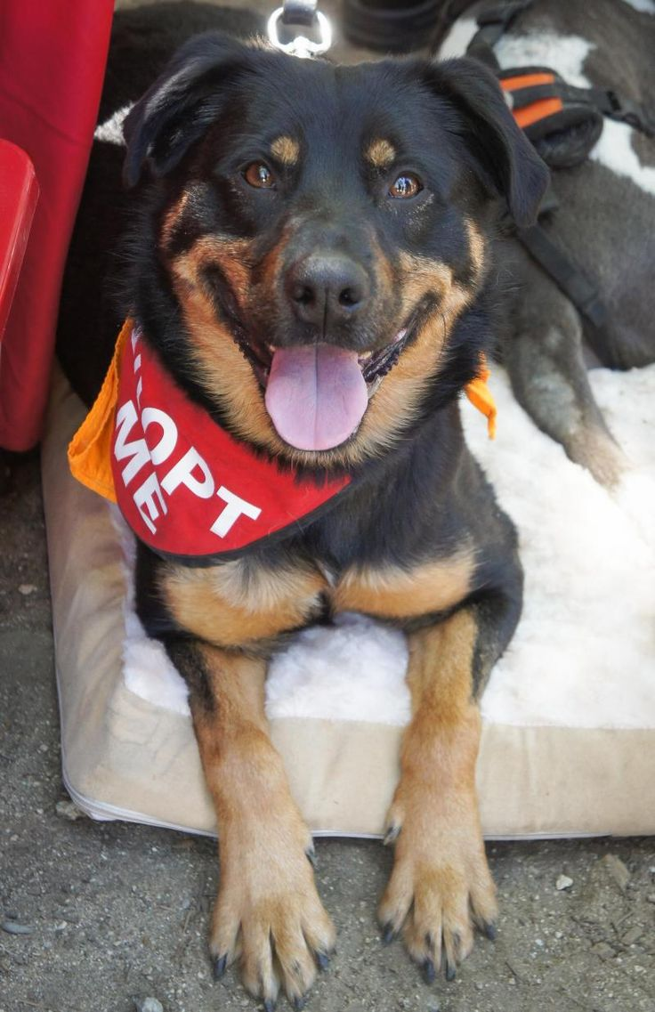 Maggie May is an adoptable German Shepherd Dog searching for a forever family near Van Nuys, CA. Use Petfinder to find adoptable pets in your area.