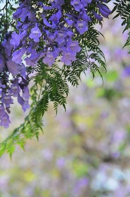 70 best feature ornamental trees images on pinterest for Planta ornamental jacaranda