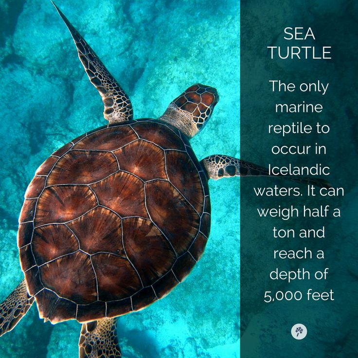 the #SeaTurtle is a #Majestic creature! Explore #Icelandic wildlife and tours in #Iceland with www.tour.is! #TravelIceland #IcelandTravel #BestOfIceland #Icelandic #Sea #Turtle #IcelandTours #ToursInIceland
