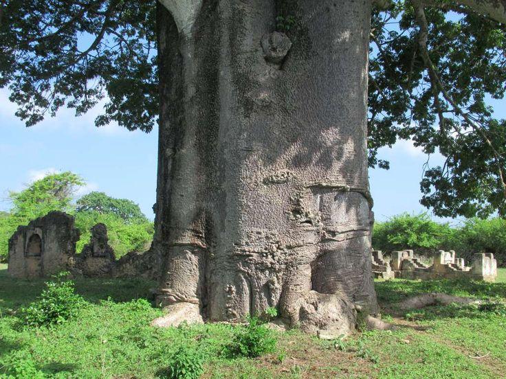 A massive baobab tree is next to the Tombs of the Kilwa Sultans on Kilwa Kisiwani Island, Tanzania.
