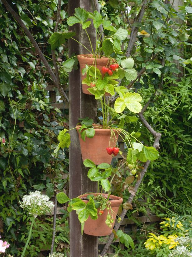 1000 Ideas About Strawberry Plants On Pinterest