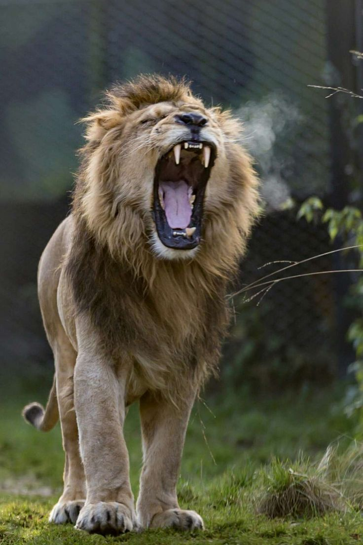 The roaring lion. De brullende leeuw. by Fons mm Simons