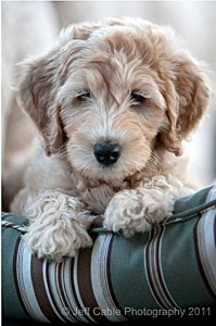 pet-photography-tips: Cute Puppies, Pet Photography Tips, Sweet, Teddy Bears, Doodle, Cute Pet, Photographers Pet, Little Dogs, Animal