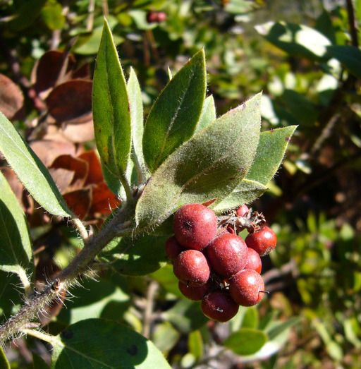 Native Edible Plants Australia: 32 Best WILD BERRIES Images On Pinterest