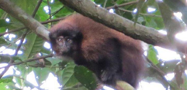 Une nouvelle espèce de singe découverte au Pérou.Sciences et Avenir.