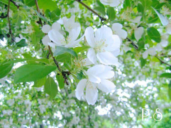 The Apple Blossom Series // Set of Three 4x6, 5x7, 8x10 Fine Art Prints
