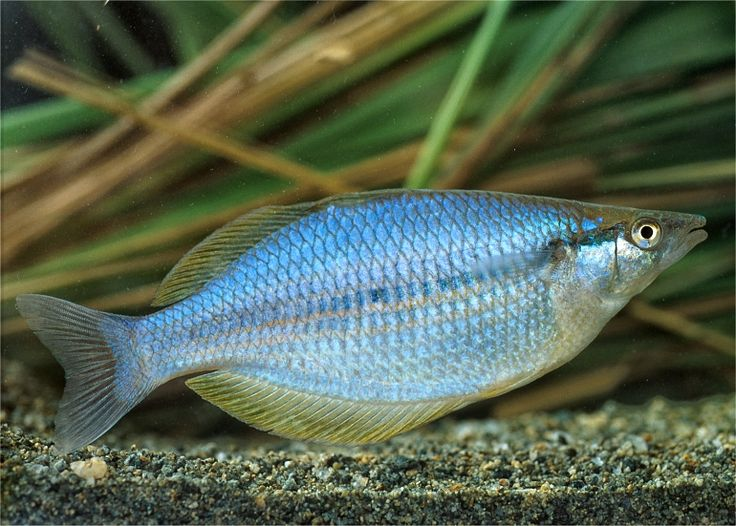 34 best rainbow fish images on pinterest fish aquariums for Rainbow fish care