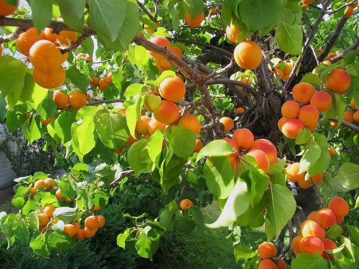 Sweet apricots are delicious and nutritious fruits. Bitter apricot kernels contain amygdalin, which can be converted to poisonous cyanide in our bodies.