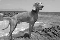 Otec - chovný pes ARDEN Faust's Blue Symphony