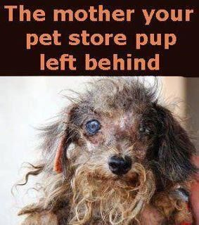 Heartbreaking but true!  Please ADOPT, don't shop for your pets!  Stand up against puppy mill cruelty.   This breaks my heart, litterally made me cry...poor baby