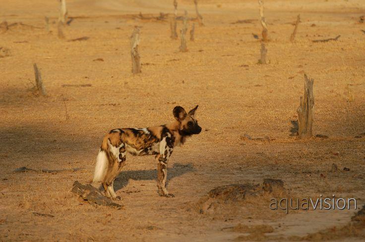https://flic.kr/p/RT7Bis | AQV20050529_1031167.jpg | Wild Dog on the hunt in Botswana