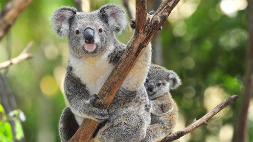 Cute koala with its little baby - Experience the amazing wildlife of Australia with KILROY #animals #wildlife #Oceania #backpacking #travel