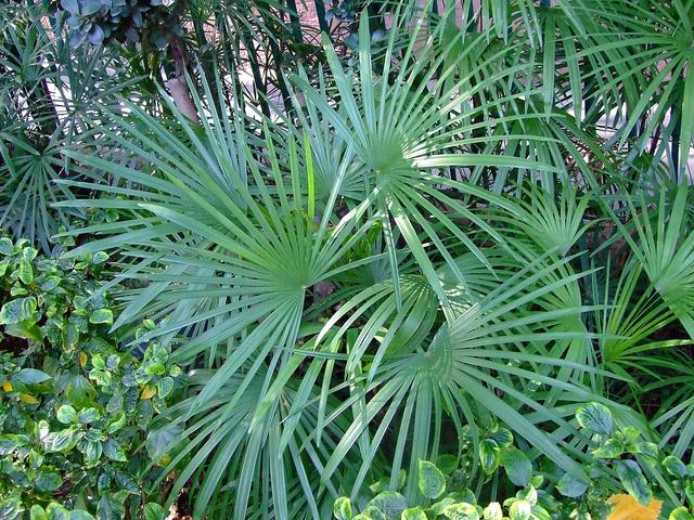 89 best palms images on pinterest tropical gardens for Less maintenance plants