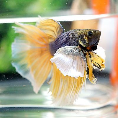 1000 images about bettas gold fish on pinterest betta for Big betta fish