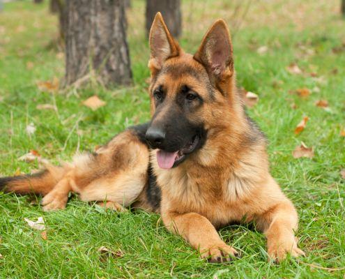 De Duitse Herder. Meer informatie over dit ras? Kijk op: http://www.beeztees.nl/?p=5145