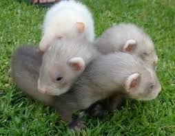 Image result for baby white cute ferrets