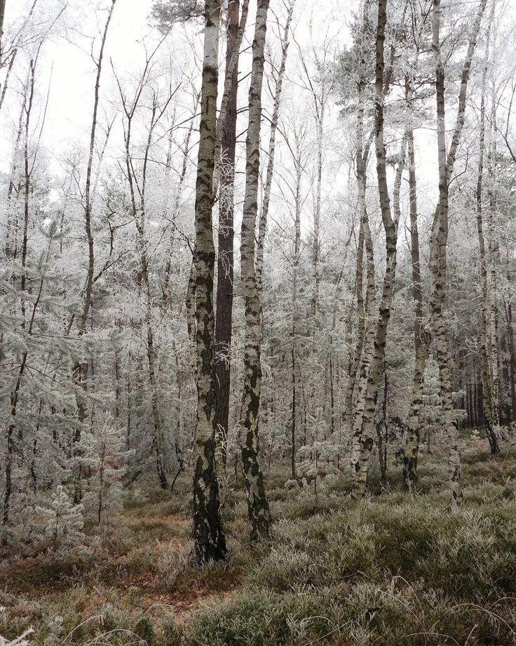 #winter #walking #klubkocestuje #naturelovers #trees #snow Břízy na pískovcovém podloží!❄️