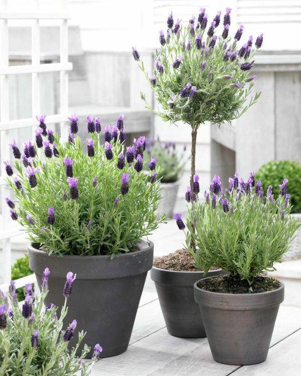 lavendel wirkung terrassenpflanzen