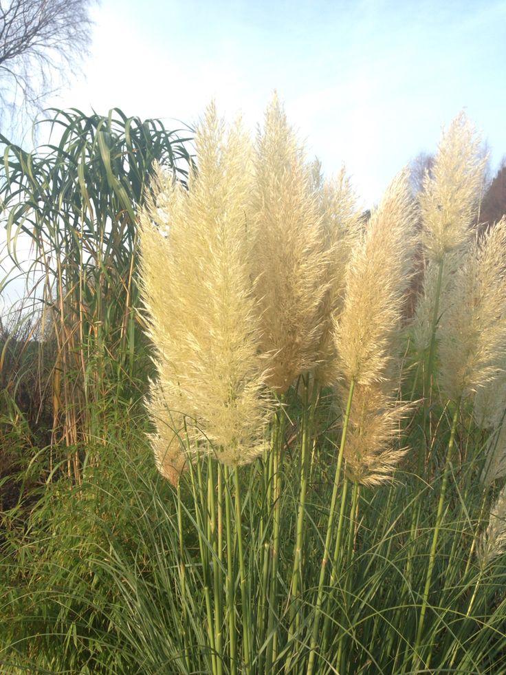 Pampasgräs & elefantgräs - magiskt tillsammans