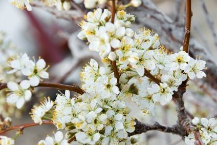 How to Grow Native Plum Trees thumbnail. Another great one to plant for increased self-sufficiency...they are pretty but the plums make wonderful jam and jelly as well!