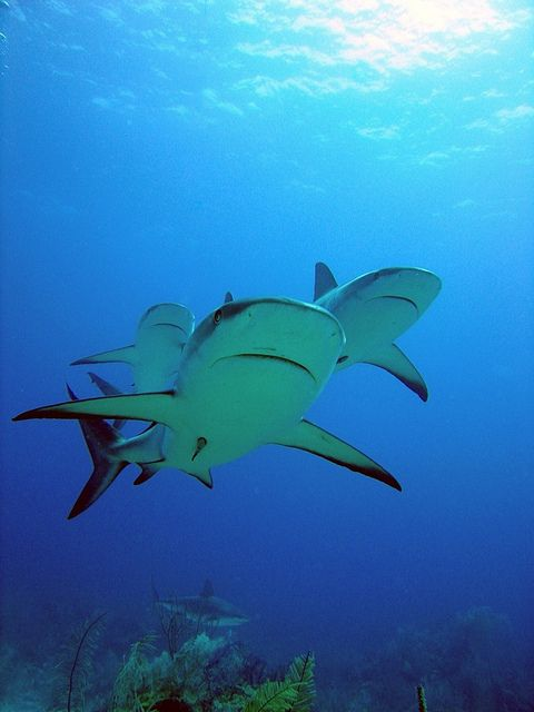 Caribbean Reef Sharks. Playa del Carmen-Under Water Photography