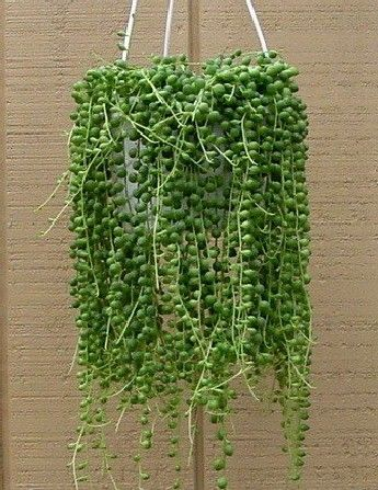 string of pearls trailing succulent hanging planters. Black Bedroom Furniture Sets. Home Design Ideas