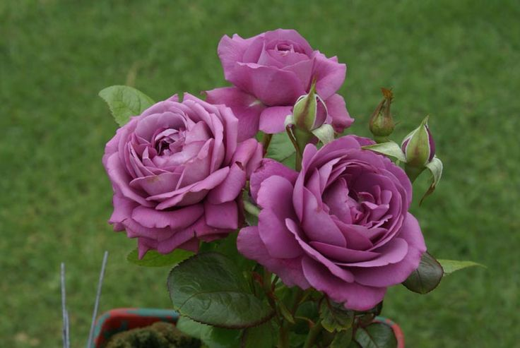 35 best images about purple roses on pinterest glow the - What are blue roses called ...