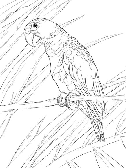 Puerto Rican Parrot Coloring Page Detailed Coloring
