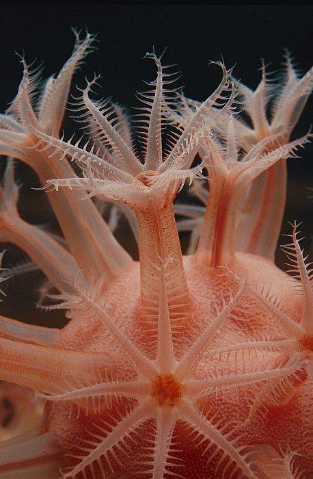A Mushroom Soft Coral Anthomastus (2011) by photographer Bill Curtsinger. Monterey Bay Aquarium. via fine art America