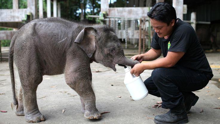 Guarda florestal malasiano alimenta um elefante pigmeu de três meses de idade, nomeado Joe, no parque natural Lok Kawi, localizado no norte da Malásia. As autoridades do país estão oferecendo 50 mil ringgits (R$ 8.000) como recompensa por informações sobre os 14 elefantes pigmeus encontrados mortos no mês passado