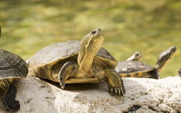 Wild Turtle in the Everglades, Florida