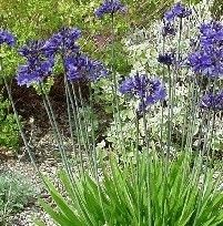 Agapanthus afrikanus (Afrikaanse lelie, Liefdesbloem) heeft blauwe, trompetvormige bloemen. De hoogte is ongeveer 90 cm. De bloeitijd is juli-augustus.