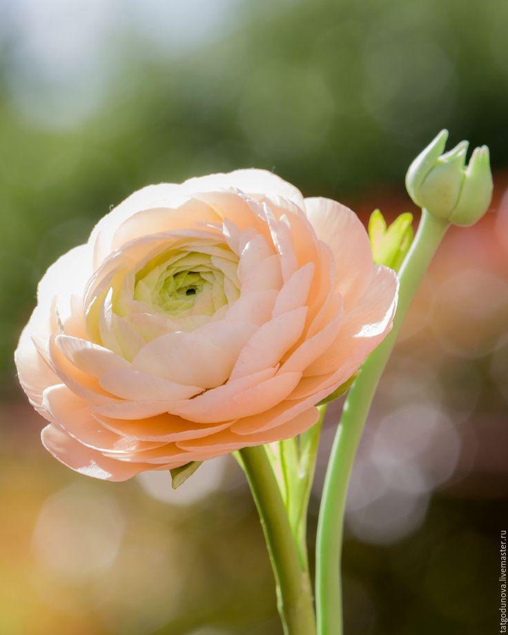 доволен фотографии цветов лютиков польза растительных