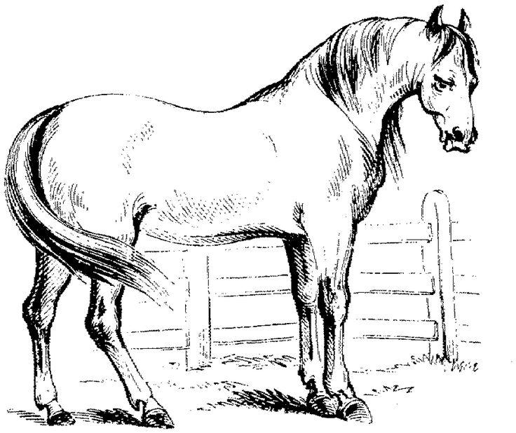 haflinger (1800×1512) | ausmalbilder pferde