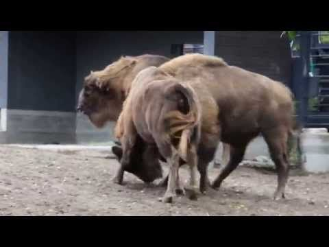Animal sex | Wisent Mating | Reproduction At Zoo - YouTube