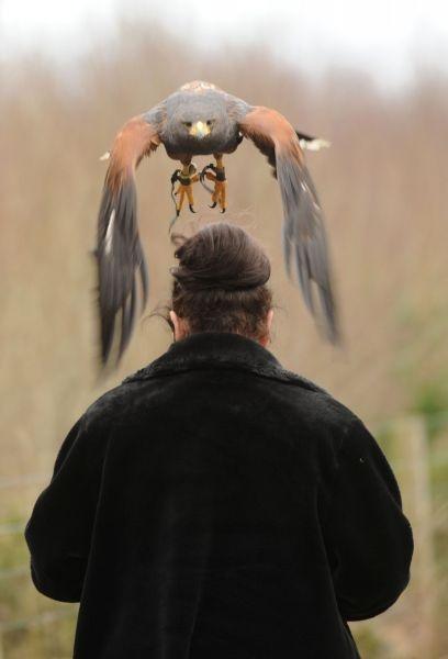 Catégorie Nature et Environnement, 3ème prix Adrian Melia (freelance).  Décollage.    Martha, la Buse de Harris, prend son envol depuis la tête d'une femme à la fauconnerie de Woodlands, à Rathwood, sur la limite des comtés de Carlow et de Wicklow.