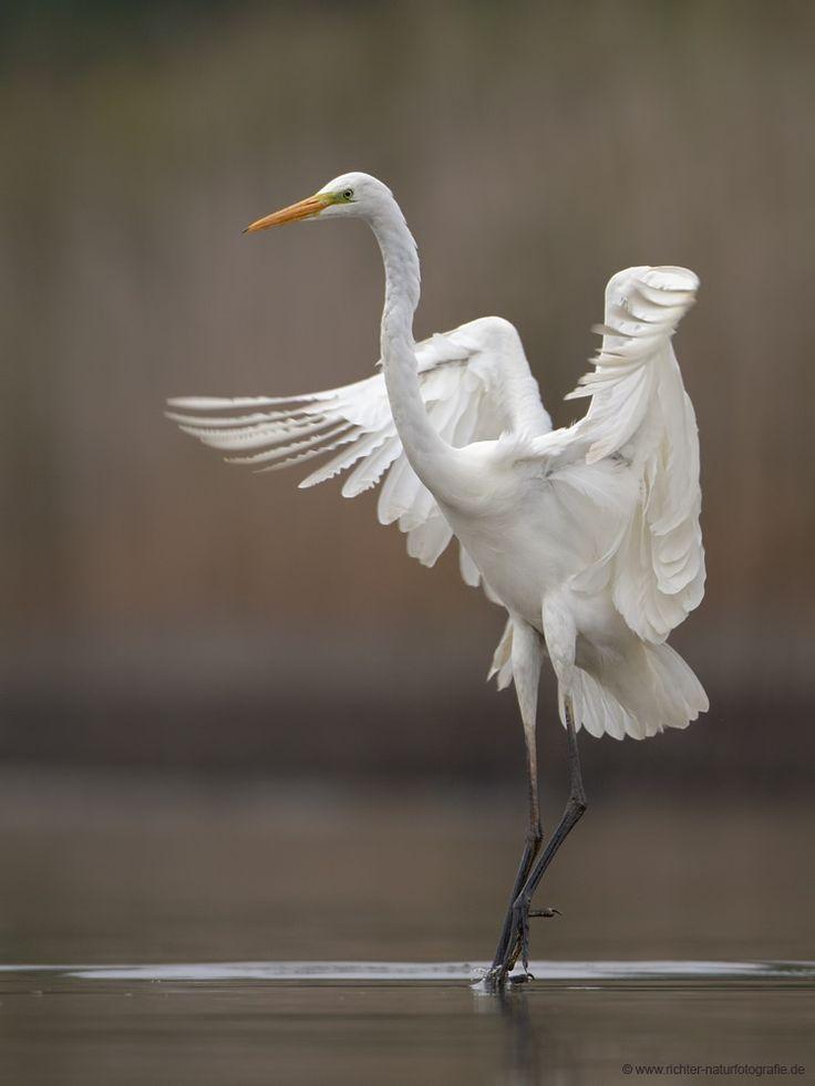 Prima Ballerina by Oliver Richter (Great Egret)