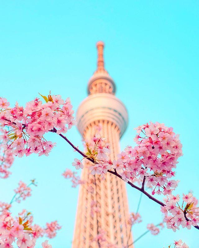 Best Season To Visit Japan Spring Time Liat Bunga Sakura Bermekaran Di Mana Mana Ikutan Hanami Festival Jalan Jalan Di Taman Makan E Bunga Sakura Mekar Bunga