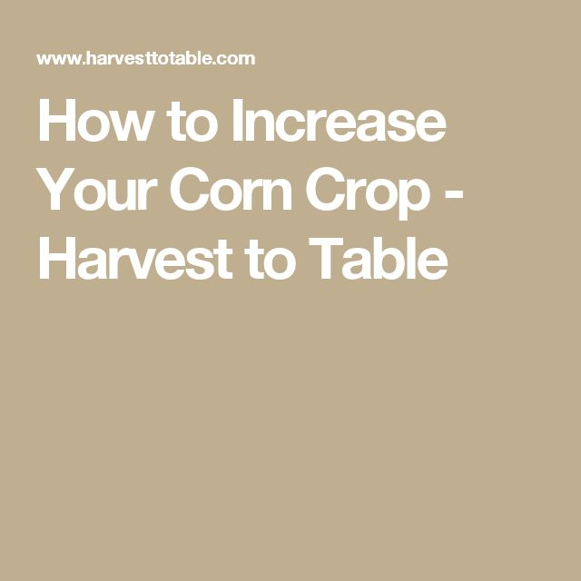 How to Increase Your Corn Crop - Harvest to Table