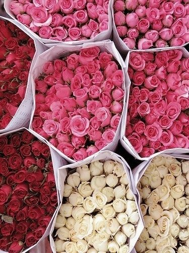 Roses on roses